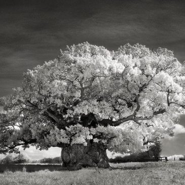 Oaks of England